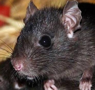 Disinfestazione Ratti